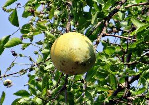 wood apple, bael
