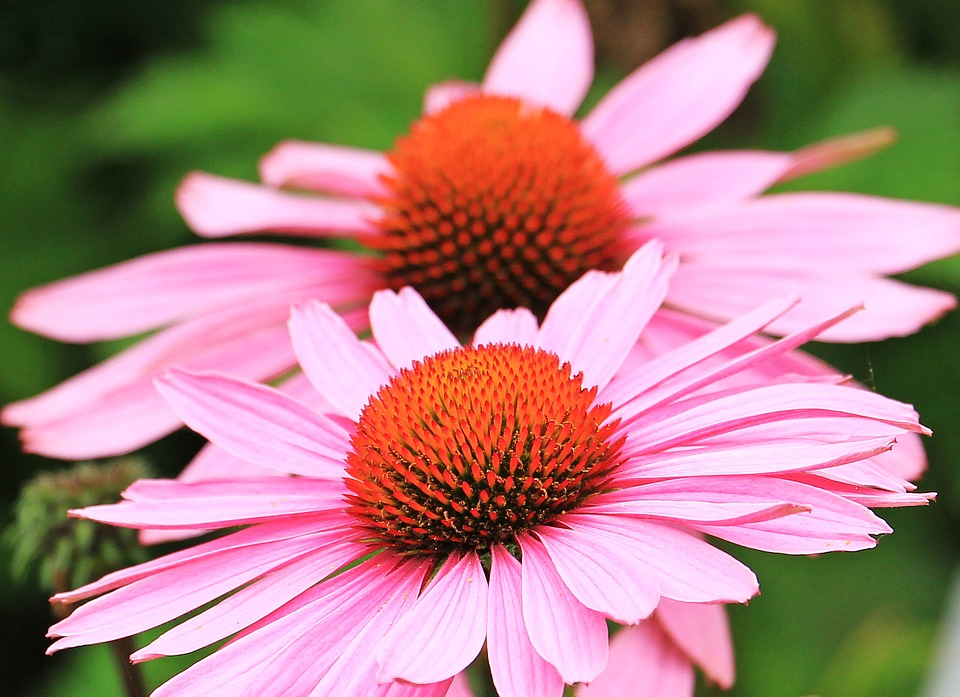 enchinacea, flowers, palsy