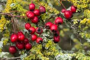 hawthorn, berries, atrial fibrillation