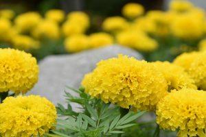 Marigold, flower, bee