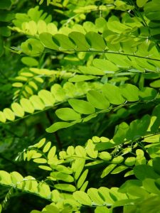 acacia, leaves, eye infections