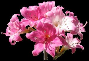 Belladonna, flower, hearing loss, dizziness