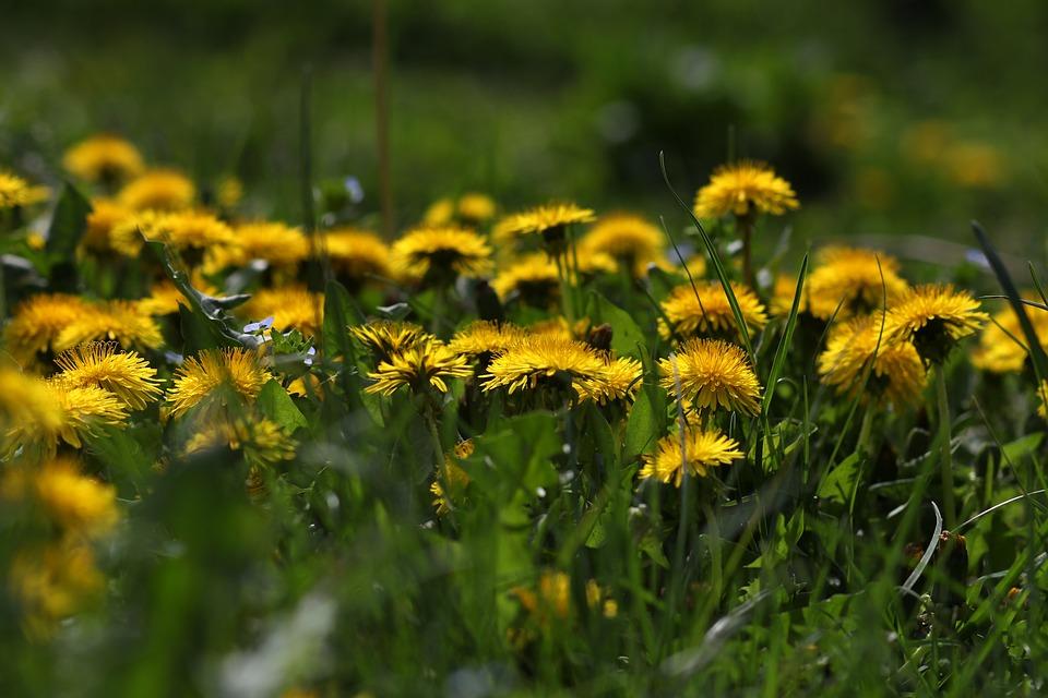 dandelion, flower, root, breast infection