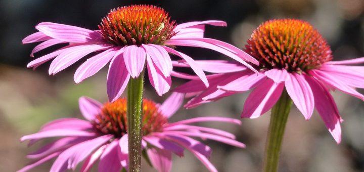 Echinacea, flower, gum pain