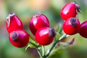 rose hips, rose, berry, tea, health benefit