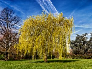 willow tree, genital warts