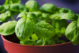 basil, herb, dengue fever, bed bug bites