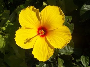 hibiscus, flower, hair, gout