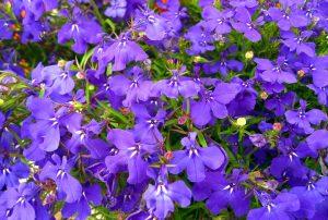 lobelia, flowers, abscesses