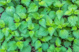 Stinging nettle, herb, bronchitis