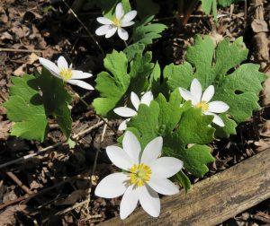 bloodroot, herb, flowers, gum disease