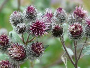 burdock, tongue blisters, plant, felt cats, arthritis
