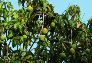 mango, mangoes, leaves, mango leaves, tree
