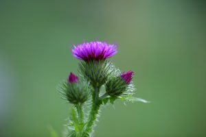milk thistle, flower, fibriods