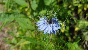 flower, seed, oil, black seed oil, health benefits