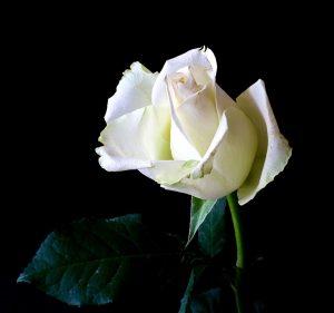 rose, flower, atopic dermatitis, extract,