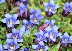 gentian, flower, shingles