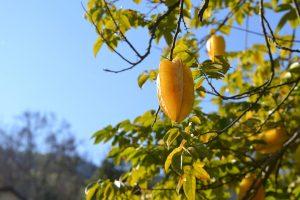 carom, fruit, female sterility