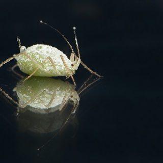 lice, bug