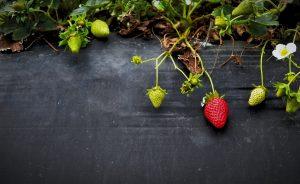 strawberries, fruit, berries, garden, plant, brain fog