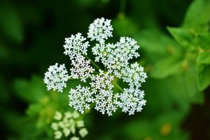 Yarrow, flowers, female sterility