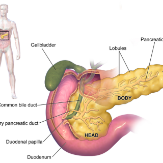 pancreas, organ, prevent pancreatic cancer