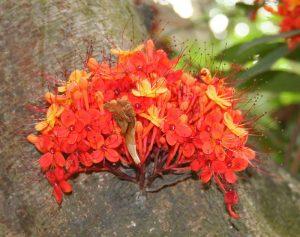 saraca asoca, tree, flowers, bark, irregular menstrual cycle