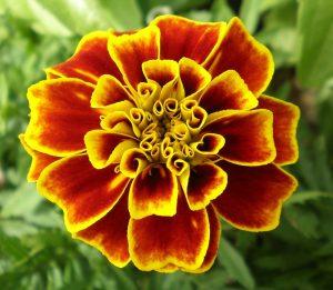MARIGOLD, flower