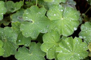 lady's mantle, plant, herb, irregular menstrual cycle