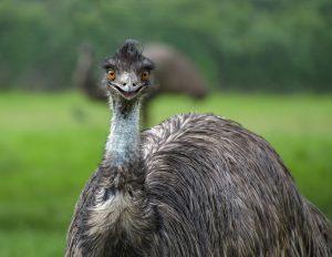 emu, emu oil