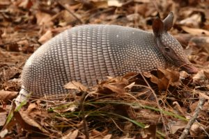 armadillo, leprosy, animal