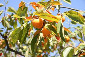 persimmon, leaves, fruit