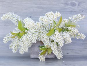 white lilac, flowers
